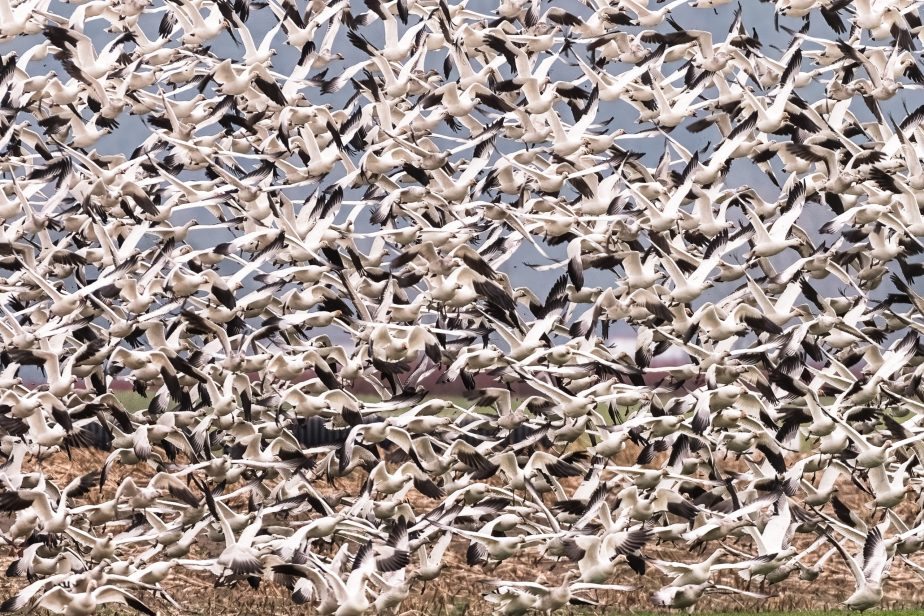Watching the Snow Geese