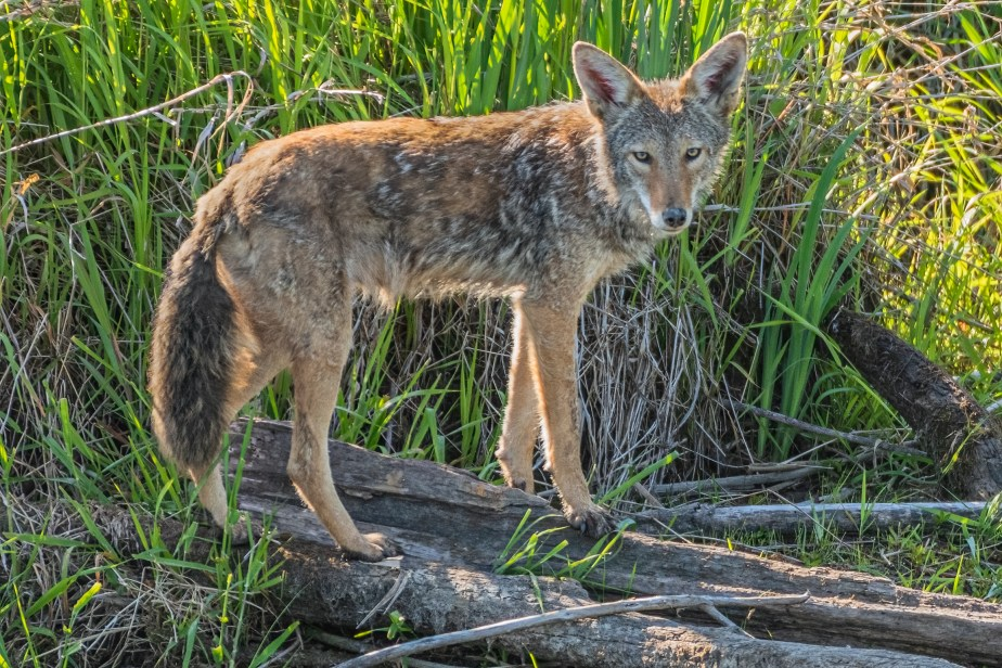A Visit with a Coyote Family