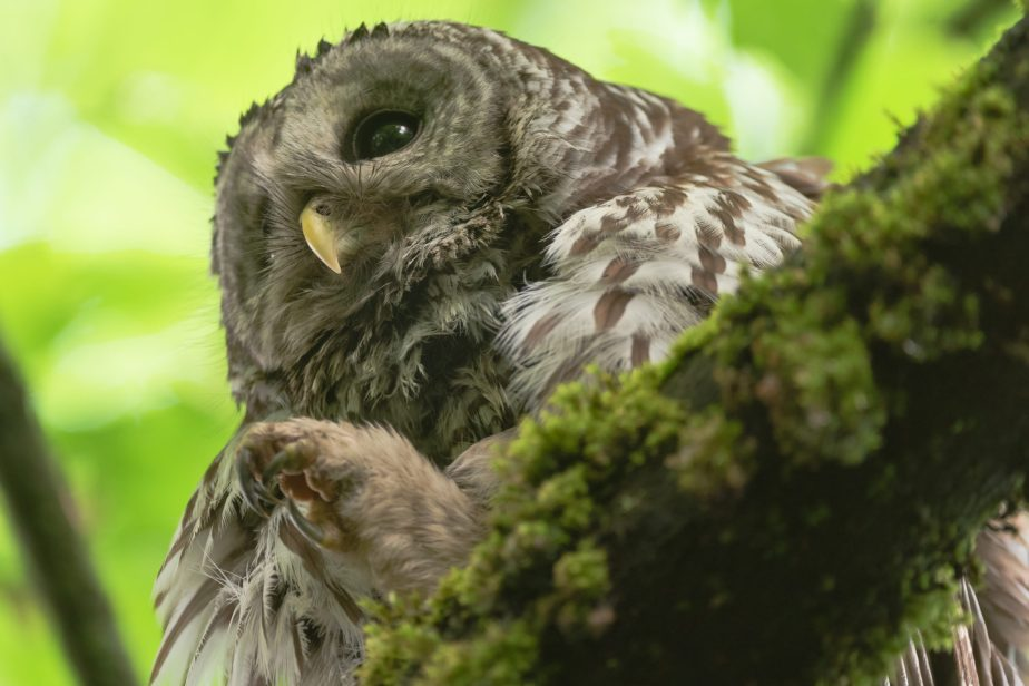A Return to the Growing Barred Owl Family