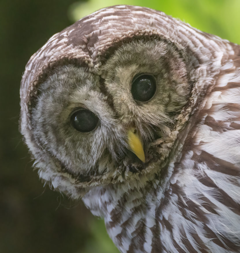 Visiting the Barred Owl Family