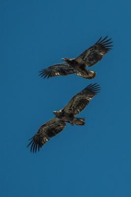 Juvenile bald eagles in flight