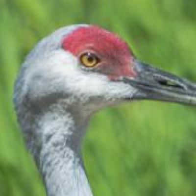 Sandhill crane, Reifel Sanctuary