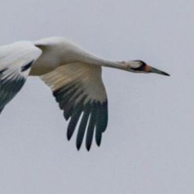 Whooping crane, Kentucky
