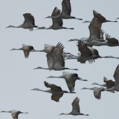 Sandhill cranes, Indiana