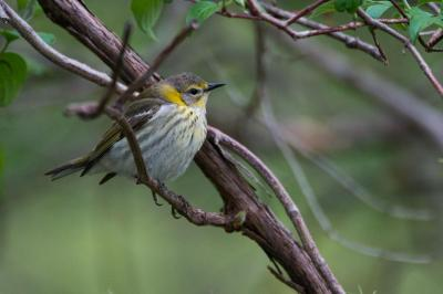 Cape May (female) warbler