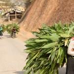 Girls Carrying Leaves, Niêm Sơn, Mèo Vạc District