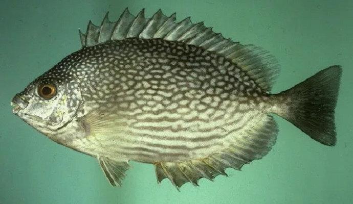 Apa Yang Anda Ketahui Tentang Ikan Baronang Kelautan Dictio Community