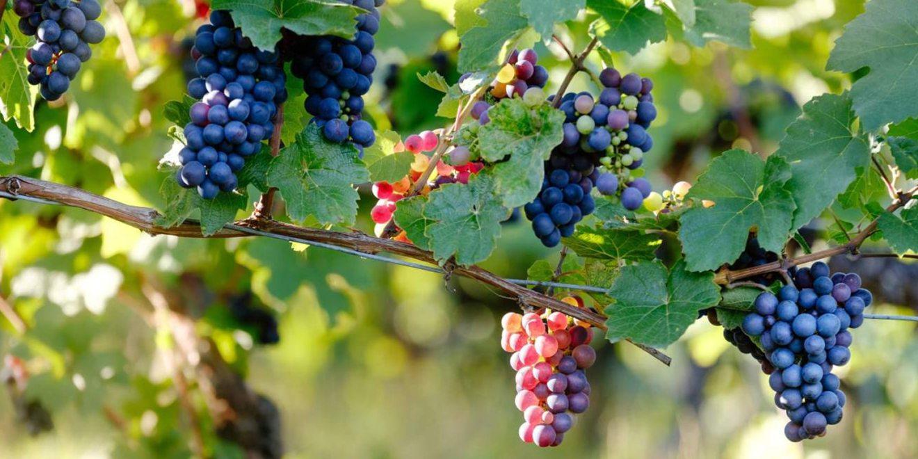 maison_didier_goubet_jus_de_raisin_bio_cepage_bordeaux_semillon_merlot_cabernet_vignes