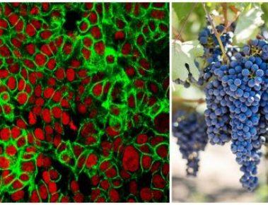 Studie: Traubenkernextrakt tötet Krebszellen im Labor