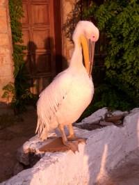 Pelikan in Selimiye