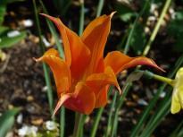 Tulpe, Garten der Sinne, Merzig