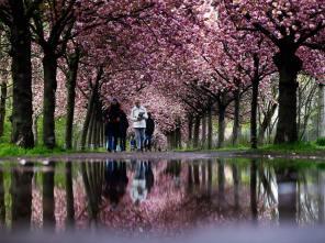 Berlin'de Kiraz Çiçeği güzelliği