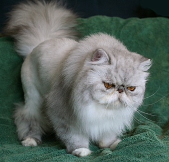 Persian cat haircut styles the best haircut 2017 grooming aggressive cats anita kelsey cat ger winobraniefo Images