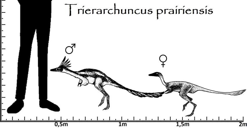 Trierarchuncus Größenvergleich