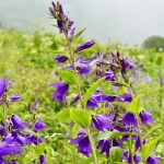 Large Bellflower