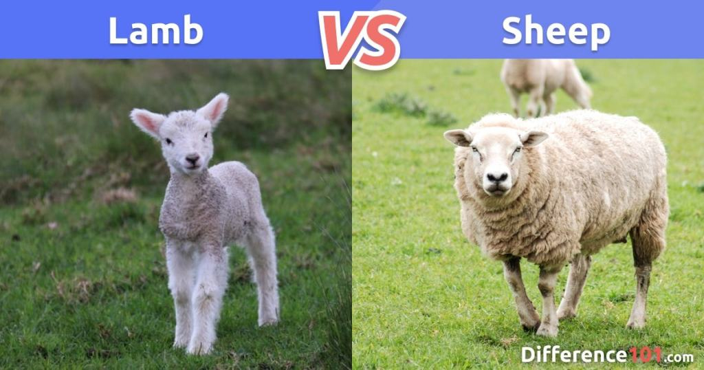 Lamb vs. Sheep: Differences, Pros & Cons, Similarities