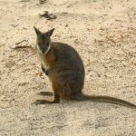 Difference Between Kangaroo and Wallaby