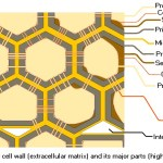 Difference Between Cell Wall and Cell Membrane