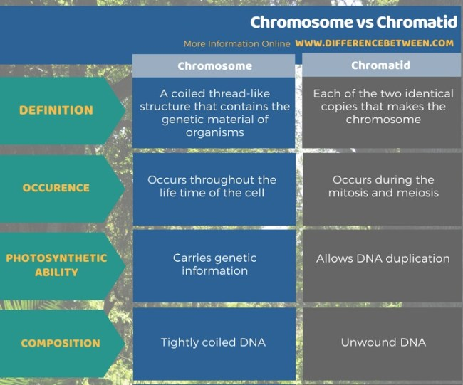 Difference Between Chromosome and Chromatid in Tabular Form