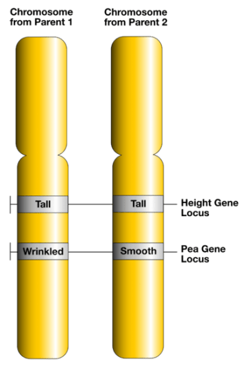 Difference Between Allele and Locus