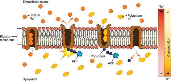 Difference Between Active Transport and Facilitated Diffusion
