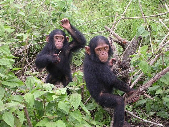 Key Difference Between Gorilla and Chimpanzee