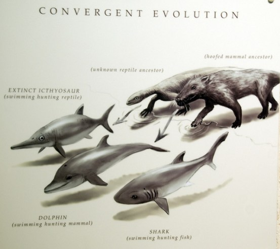 Difference Between Convergent and Divergent Evolution