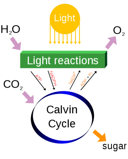 Difference Between Respiration and Photosynthesis