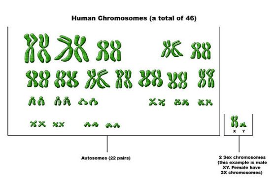 Difference Between Autosomes and Chromosomes