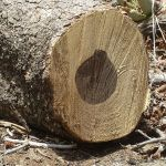 Difference Between Heartwood and Sapwood
