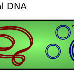 Difference Between Plasmid and Chromosome