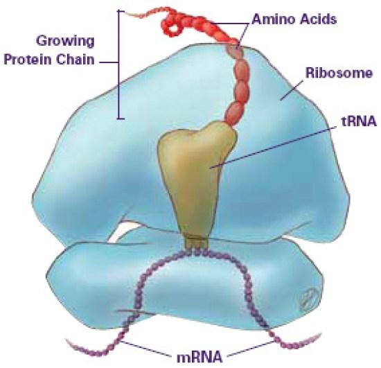 Key Difference Between Prokaryotic and Eukaryotic Ribosomes