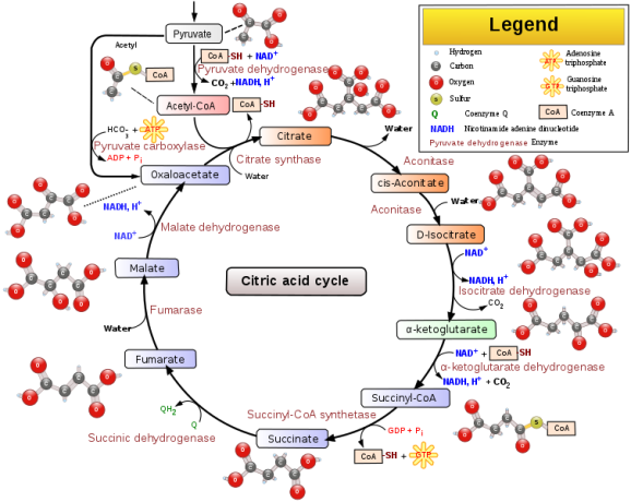 Difference Between Krebs Cycle and Glycolysis