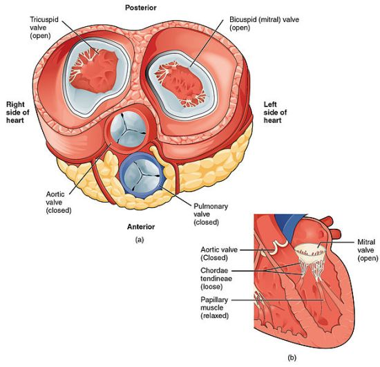 Difference Between Left and Right Side of Heart_Fig 01