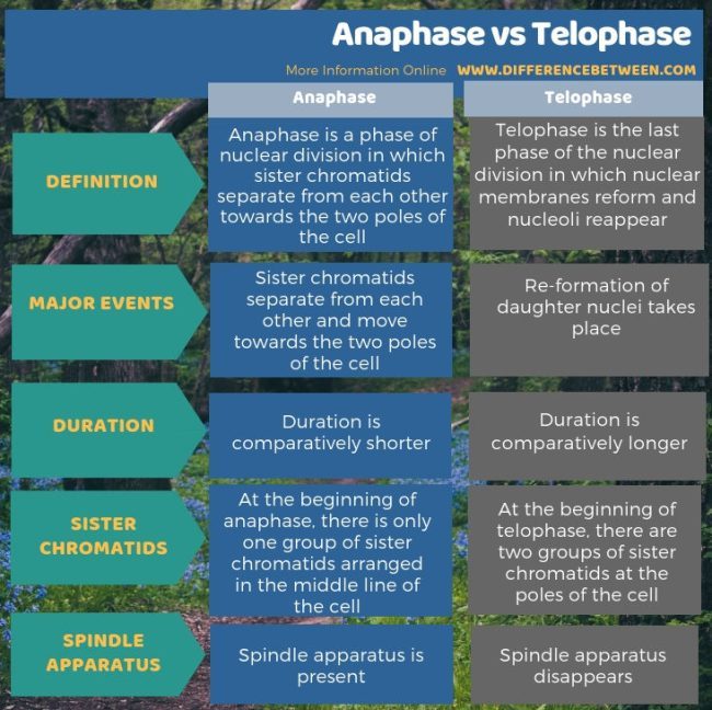 Difference Between Anaphase and Telophase in Tabular Form