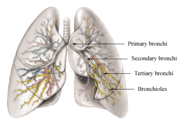 Difference Between Bronchi and Bronchioles