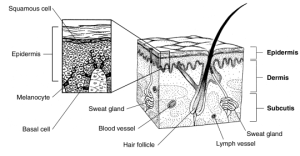 Difference Between Basal Cell and Squamous Cell
