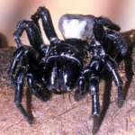 Difference Between Sydney Funnel-Web Spider and Brazilian Wandering Spider