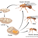 Difference Between Larva and Pupa