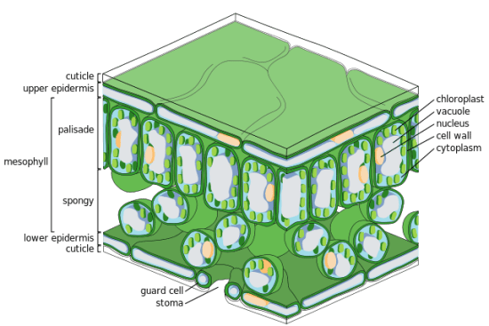 Guard Cell vs Epidermal Cell