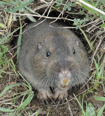 difference between mole and gopher