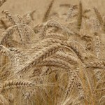 Difference Between Wheat and Gluten