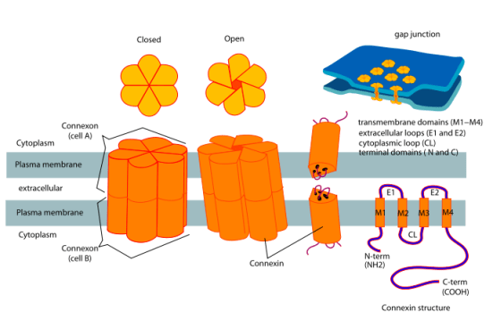 Key Difference - Chemical vs Electrical Synapse