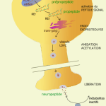 Difference Between Neuropeptides and Neurotransmitters