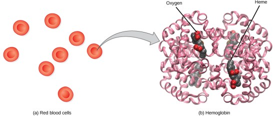 Difference Between Oxygenated and Deoxygenated Hemoglobin