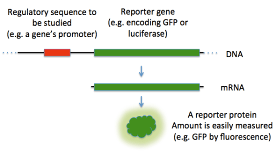 Key Difference - Selectable Marker vs Reporter Gene
