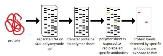 Difference Between Southern, Northern and Western Blotting