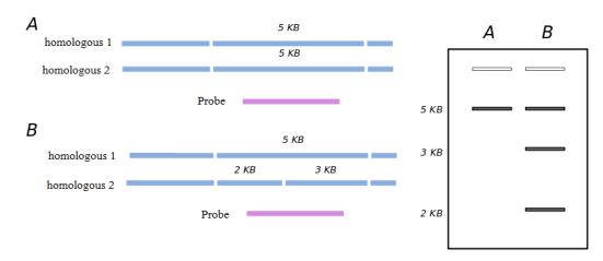 Main Difference - AFLP vs RFLP
