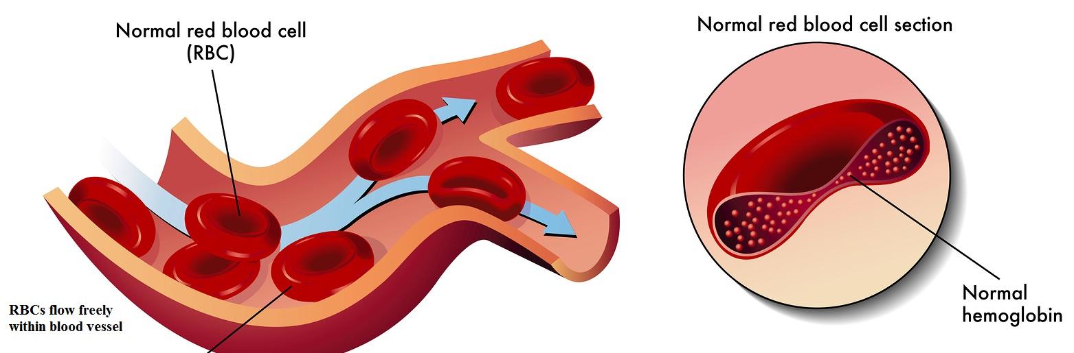 Hemoglobin Normal Protein
