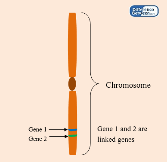 Key Difference - Linked vs Unlinked Genes